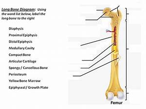 Unit 3 Part 1 Long Bone Diagram