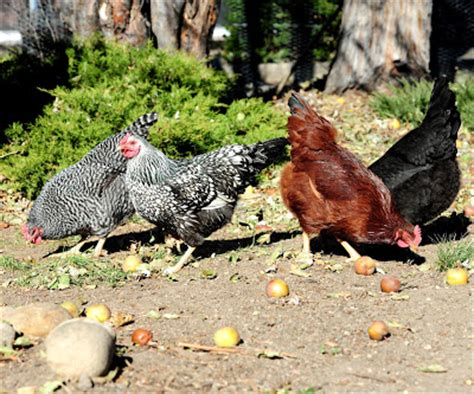 Caring For Chickens In Backyard by Jeffco Gardener Caring For Backyard Chickens By Elizabeth