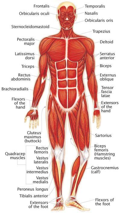 Muscular System Images Best 25 Muscular System Ideas On Human