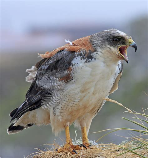 Variable hawk - Wikipedia