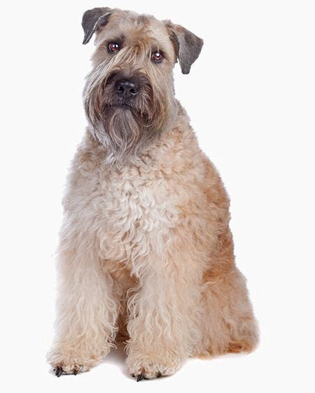 non shedding large family dogs dogs that don t shed 40 best non shedding breeds