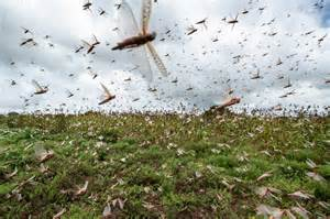 A plague of locusts has descended on East Africa. Climate ...