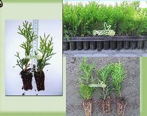 Thuja Smaragd Wachstum : thuja smaragd heckenpflanzen 6 15cm lebensbaum 4 pflanzen ~ Michelbontemps.com Haus und Dekorationen