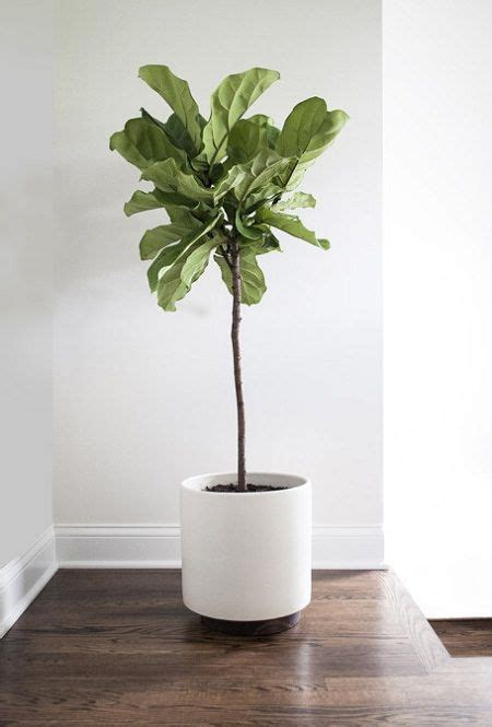 grow ls for indoor plants how to grow fiddle leaf fig and care to grow plants and