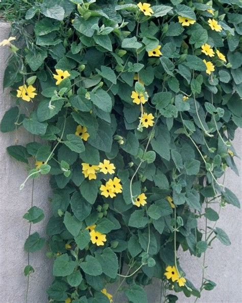 Annual Flowering Vines  Vines Climbers & Twiners  U Of