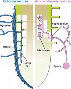 Mycorrhizae - microbewiki