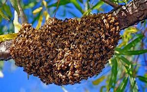 Essaim De Frelon : l 39 abeille l 39 arche de gloire ~ Melissatoandfro.com Idées de Décoration