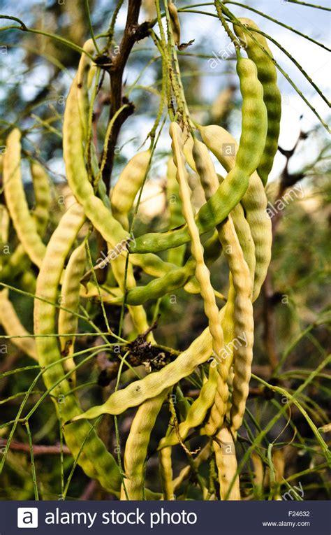 mesquite tree pods stock  mesquite tree pods stock