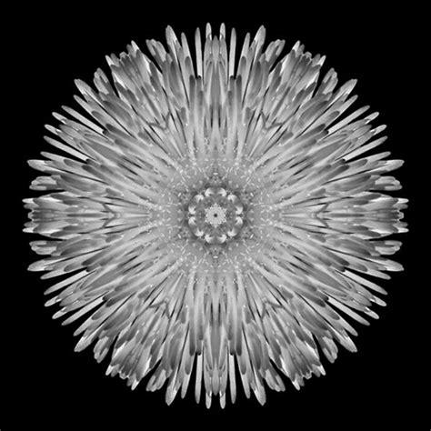 flower mandala dandelion iv bw flower mandalas