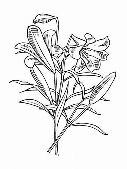 Coloring Lily Flower Pages Flowers Easter Lilly