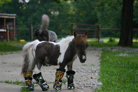 horse mini legs windswept roo surgery tiny leg body weight awaits casts could each horses today learns wheelchair dose disabled