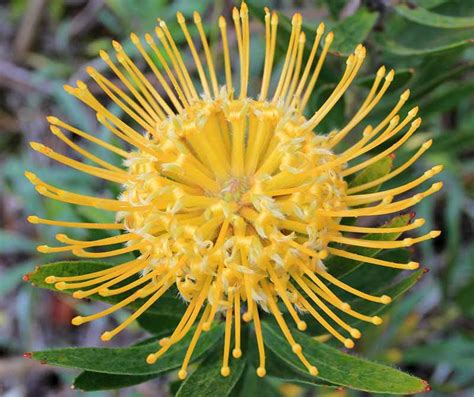 Leucospermum cordifolium 'Yellow Bird' (Nodding Pincushion)