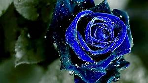 Sky Blue Rose HD Wallpapers 12765 - Baltana