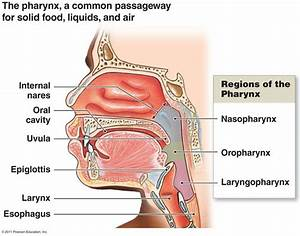Pharynx Nasopharynx Superior Portion Oropharynx The