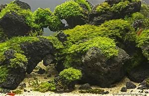 Moos Für Aquarium : moos im aquarium befestigen anleitung tipps und tricks aquariumpflanzen ~ Frokenaadalensverden.com Haus und Dekorationen