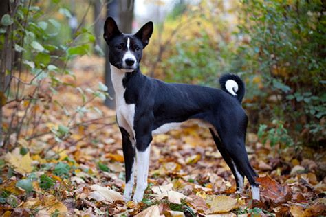 Low Shed Dogs Medium In Size by The Basenji Yodeling Dog