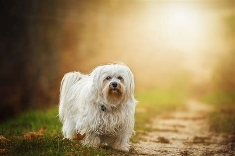top 10 dog breeds that don t shed puppywire