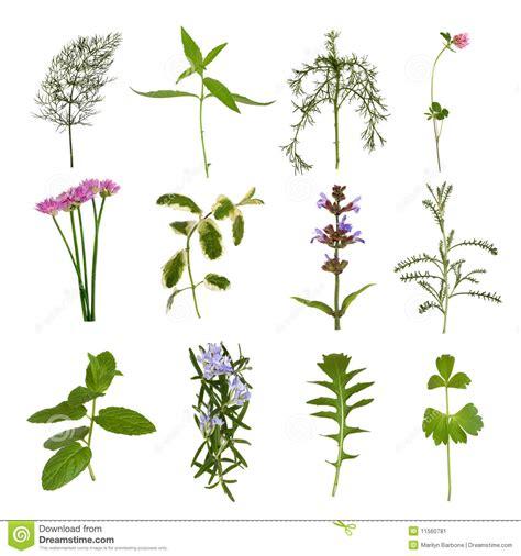 herb florist herb leaf variety stock image image 11560781
