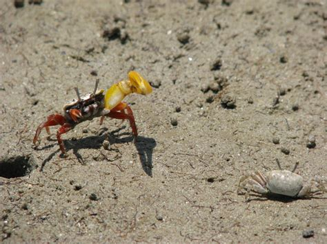 fiddler crab male banana fiddler crabs may coerce mating by trapping females in tight burrows