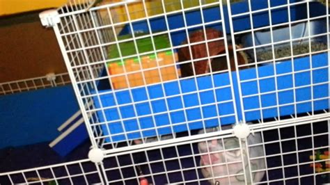 guinea pig hutch size guinea pig care cages and cage sizes