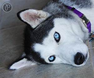 17 Best images about Huskies on Pinterest | Wolves ...