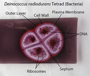 Deinococcus Radiodurans Bacteria Dish By