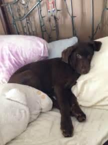 Chocolate Lab Blue Heeler Puppy