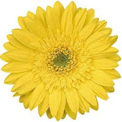 floral supplies gerbera daisies yellow 70 stems sam 39 s club