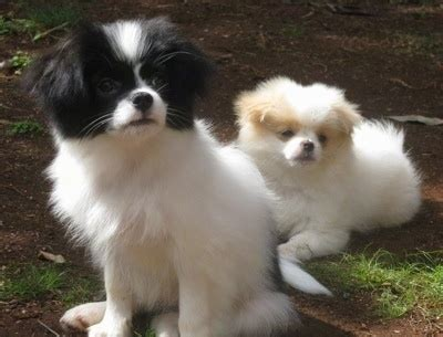 chineranian dog breed information  pictures