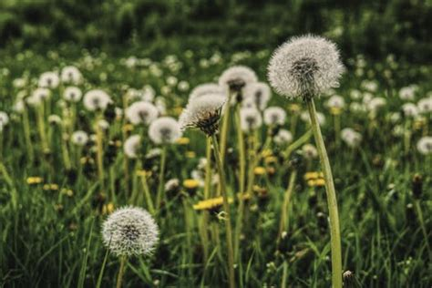 close  photography  white dandelion seed  stock