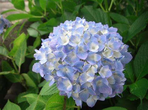 cuisine blanche et bleu cultiver des hortensias pratique fr