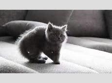 Süsse Katze, Katzenbabys, British, Britisch Kurzhaar YouTube