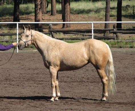 horses horse skipper aqha quarter oodle bloodlines mare trail