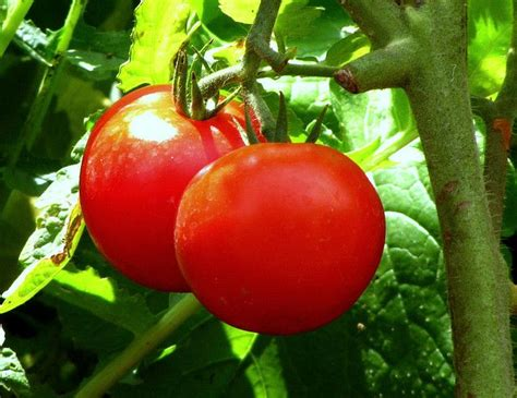 10 Tomatoes To Grow In Your Container Garden Treehugger