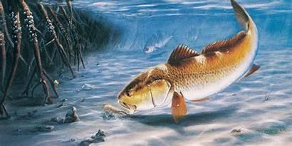 Fish Redfish Wallpapers Tablet