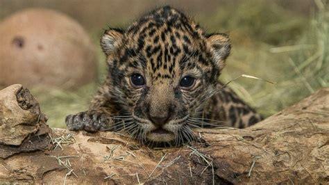 Baby Jaguar Born At San Diego Zoo Is A Boy