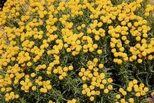 santoline planter et tailler ooreka With modeles de rocailles jardin 8 thym planter et tailler ooreka