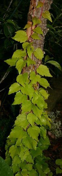 parthenocissus fenway park