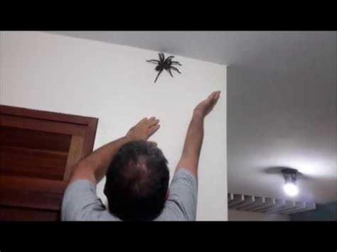 araignee dans la maison grosse araign 233 e dans la maison
