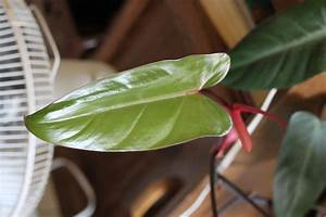 How, To, Propagate, A, Philodendron, Plant