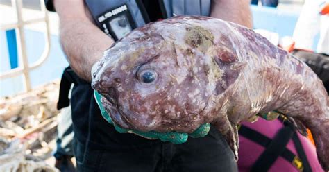 trove   horror species discovered  australian abyss