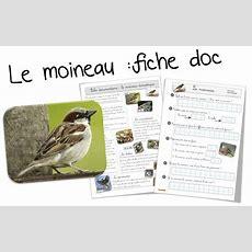 Fiche Doc Sur Le Moineau  Fiche D'identité Animaux Pinterest
