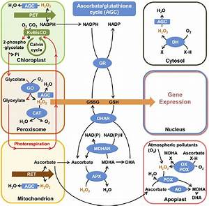 Schematic Representation Of Subcellular Hydrogen Peroxide