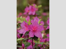 Rhododendrons Are Just Hard in the South Southern Living