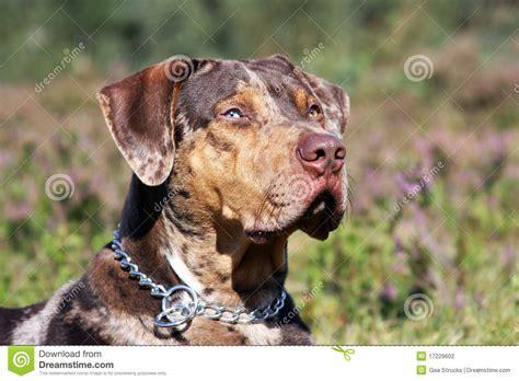 Catahoula leopard dog stock photo. Image of catahoula ...