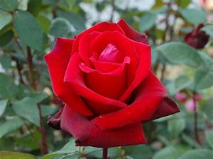 Amazingwallpaper  Red Rose For You Abd Best Friend