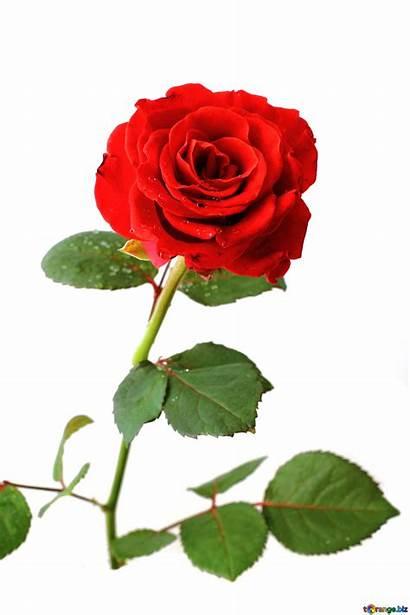 Rose Flower Hermosas Rosas Rojas Fotos Torange