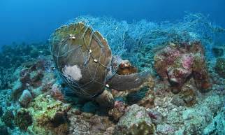 Call For Ban On Prawn Nets That Kill Thousands Of Turtles