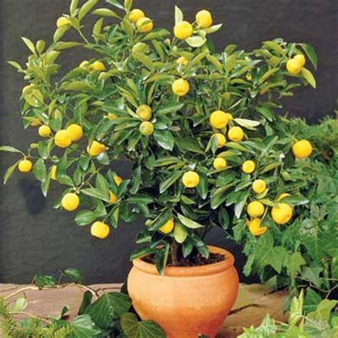 Limone In Vaso Cure by Come Coltivare I Limoni In Vaso Pollicegreen
