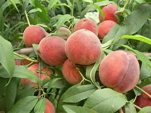 Fruit Tree Seeds Big Sweet Peach Seeds For Planting, View ...